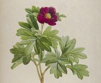 Mostra virtuale: L'illustrazione botanica